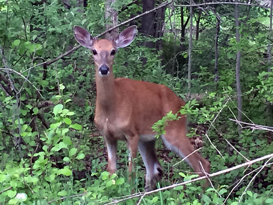Plenty of deer can be spotted on the Paint Creek Trail in Rochester Hills, MI.